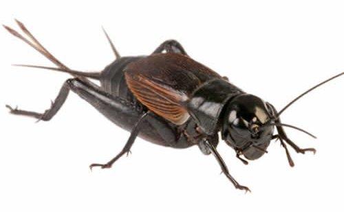 l_adult_black_cricket_
